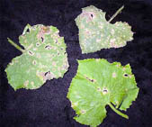 Бурая или оливковая  и пятнистость может поражать стебли,листья,плоды