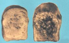 Тягучая болезнь возникает в пшеничном крупноштучном хлебе