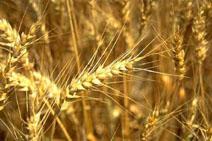 Оценку качества партии зерна производят по среднему(1,5-2 кг зерна)