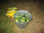 Сажаем семена огурца в ящики.