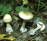 Смертельно ядовитым грибом в наших лесов является бледная поганка