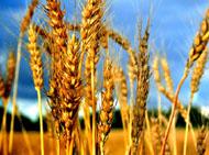Пищевая ценность пшеницы