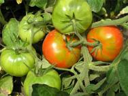 Зрелые томаты хранят в холодильниках,ледниках,на ледяных складах