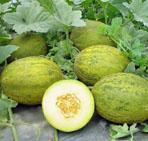 Спелость плода дыни определяется внешним видом