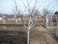 Принцип побелки стволов деревьев