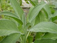 Шалфей -очень эффективен при лечении атеросклероза.