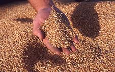 Дозревание зерна  после уборки протекает в течении 10-15 дней