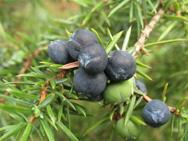 Эфирные масла  сосредоточены главным образом в кожице плодов, в мякоти их мало, они содержатся в крайне малых количествах