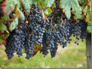 Существует три вида сушки винограда: солнечная, штабельная, теневая