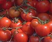 С двух корней можно вырастить один куст помидора