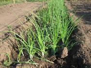 Семена репчатого лука высеивают с 10 по 20 марта