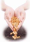 Первогодники, дающие семена, очень прихотливы