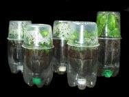 Некоторые используют  для выращивания рассады используют  обрезные пластиковые бутылки