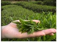 Для изготовления прессованного чая используют крошку и высевки
