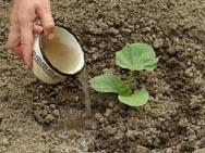 тыкву поливают 1 раз в 5-5 дней из расчета по 3-5 л воды  на 1 кв. метр