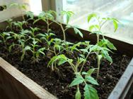Рассаду томатов, как  необходимо подкармливать.