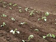 Место для высадки рассады капусты следует выбрать открытое