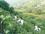 Сырьем для производства чая служат листья тропического вечнозеленого растения