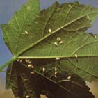 Белокрылка чаще причиняет вред огурцам, помидорам, перцу