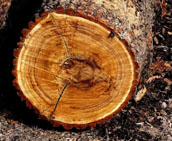 Виды деревьев при строительстве