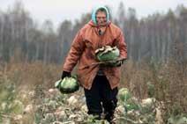 Как собирать капустные?