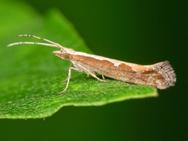 Борьба с гусеницами капустной моли