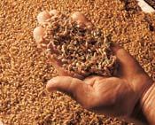 Для приготовления пивного сусла, по мере надобности, сухой солод полируют