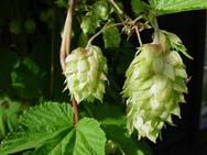 Для производства пива применяются ячмень, хмель, вода, несоложенные материалы
