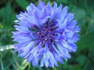 василек синий растение