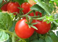 История происхождения томата