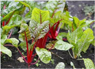 Выращивание свеклы через рассаду