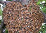 Температура в улье у пчел