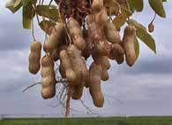 Какие витамины в арахисе?