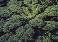 Семена кормовой капусты