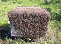 Как предотвратить роение пчел?