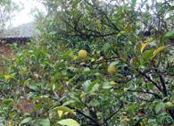 Вредители и болезни лимона