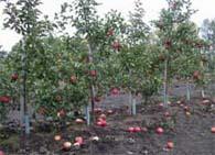 План фруктового сада
