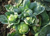 Выращивание кочанной капусты