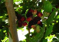 Шелковица тутовое дерево