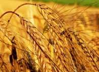 Дудольные растения пшеница