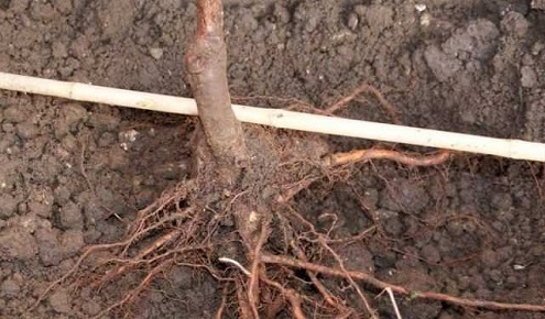 Какие фруктовые деревья можно сажать осенью