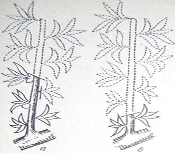 Зеленая обрезка обрастающих веток: а — укорачивание над верхним из оставшихся плодов; б — при отсутствии завязи срез делают над первыми 2—3 побегами