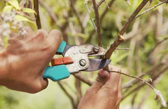 Схема обрезки яблони осенью