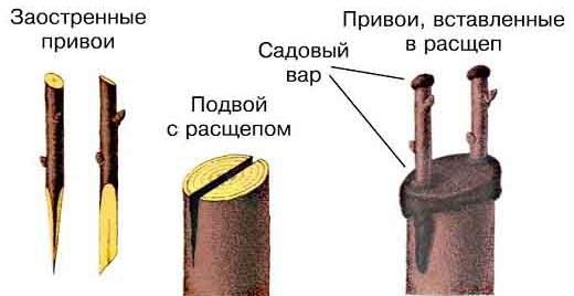 kak-privit-yablonyu-osenyu-2