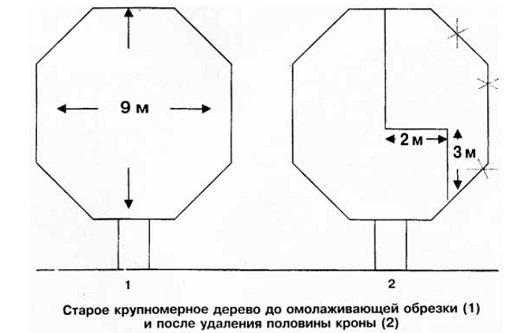obrezka-staryx-yablon-osenyu-2