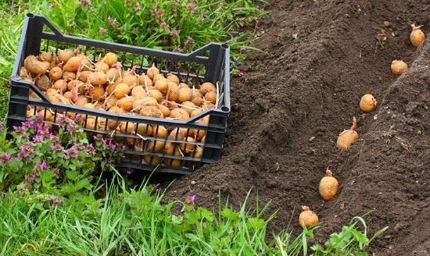 kak-sazhat-kartofel-pod-lopatu-1