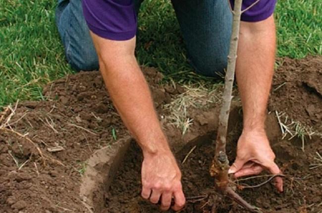 Выращивание ананасного абрикоса в открытом грунте