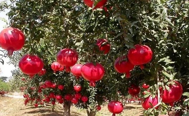 Гранатовое дерево уход