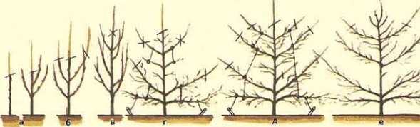Разведение груши