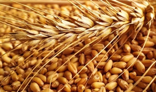 Виды пшеницы их значение